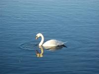 Zwaan op het Sortedams meer